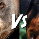 Who Would Win In a Fight, A Black Bear or a Rottweiler